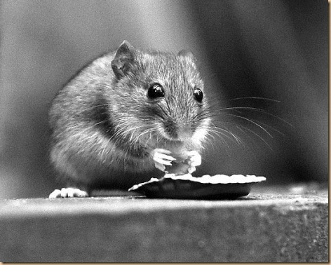 work_3119550_2_flat,550x550,075,f_field-mouse